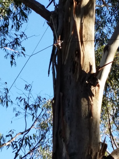 40m dipole on a eucalypt at Mt St Leonard.